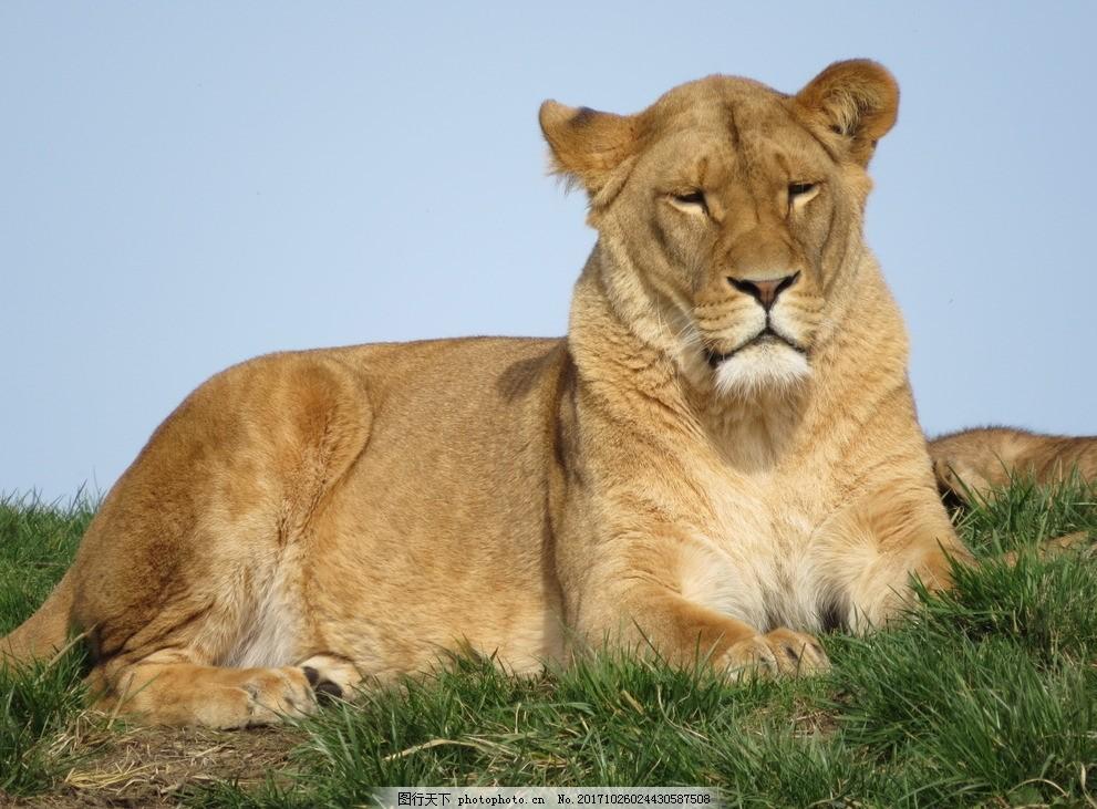 霸气母狮子 大狮子 猛狮 野兽 猛兽 野生 动物 保护动物 珍贵动物