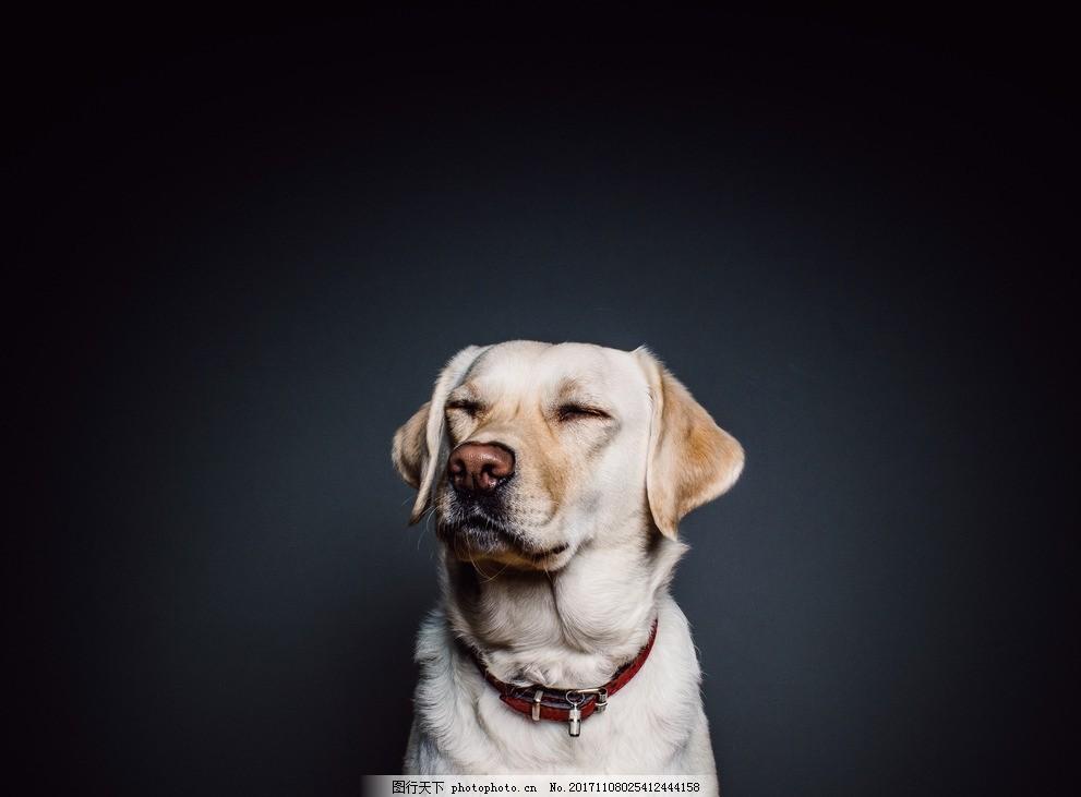 狗狗 宠物 可爱 萌萌哒 拉布拉多 动物 摄影 其他生物