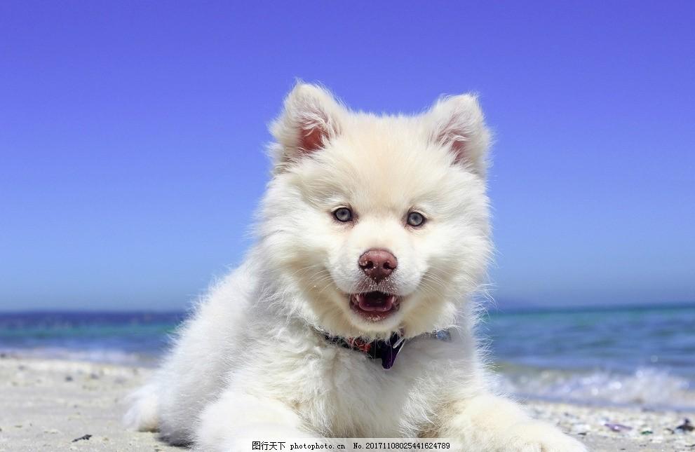 萨摩耶 可爱 宠物 萌萌哒 二哈 动物 摄影 其他生物