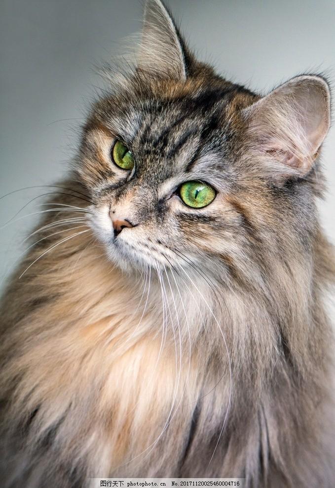 猫咪 宠物 异瞳猫咪 波斯猫 可爱 动物 摄影 其他生物