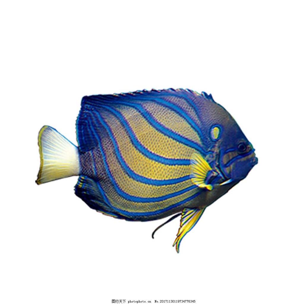 蓝色条纹热带鱼png元素图片