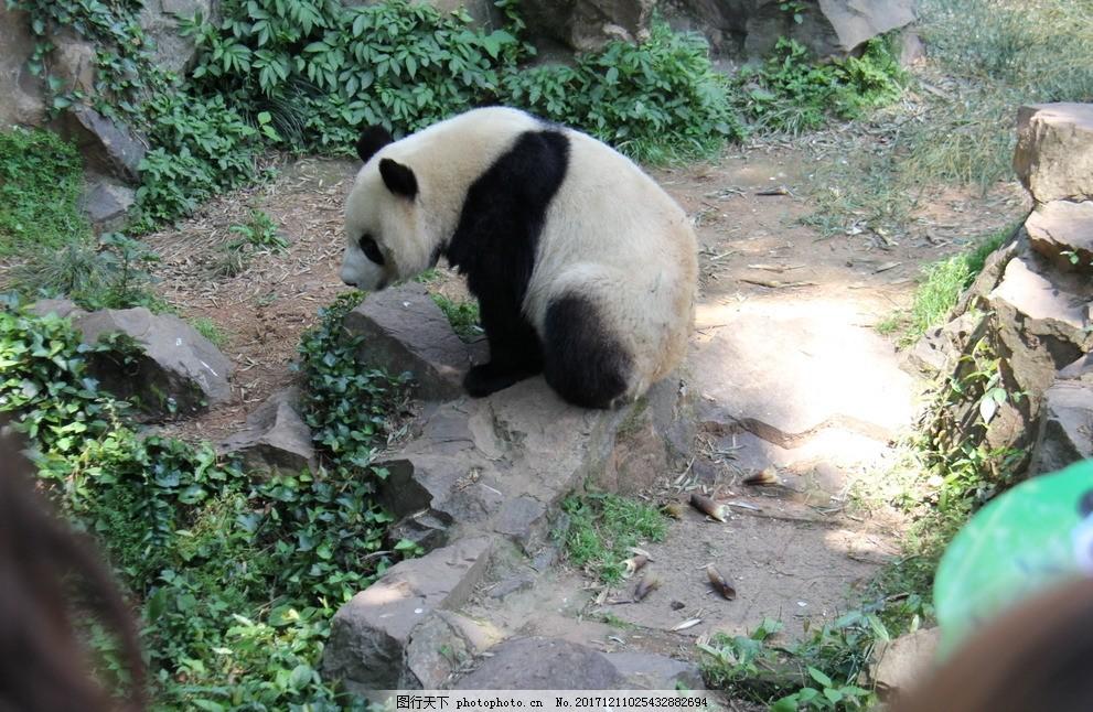 杭州动物园熊猫