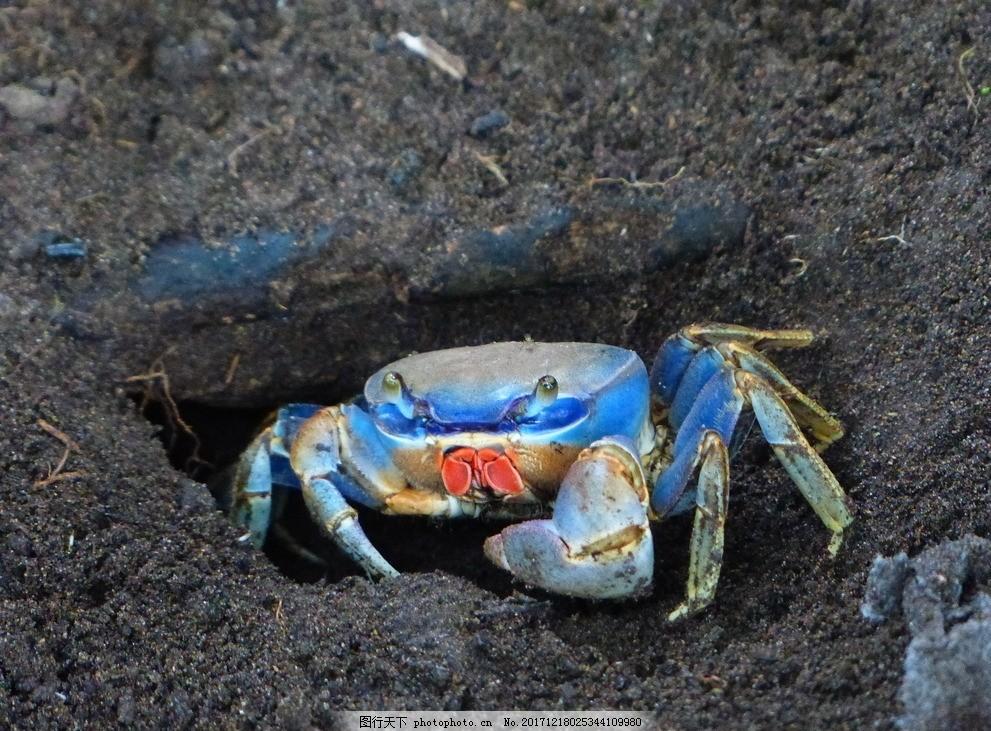 蓝色螃蟹 沙滩 海滩 活的 海蟹 青蟹 蟹脚 蟹壳 海鲜 海产品